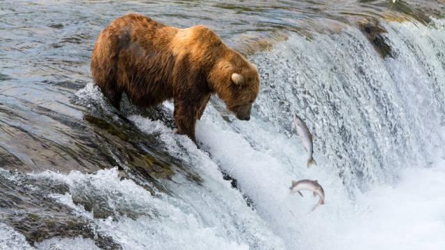Fishing Brown Bear at Brooks Falls, Katmai National Park
