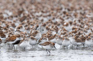 Bird Migration at Copper River Delta
