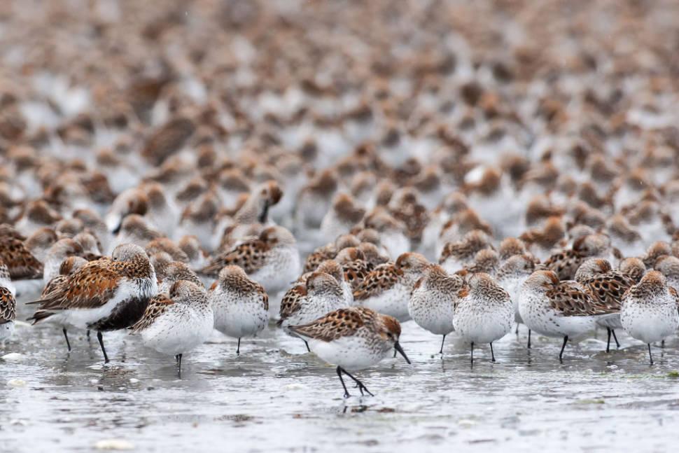 Bird Migration at Copper River Delta in Alaska - Best Time