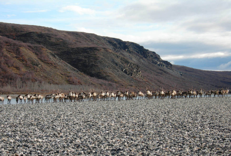 A group of caribou get ready to swim across the Noatak River