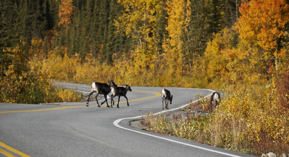 You might encounter them along the way. Caribou crossing Richardson Hwy02