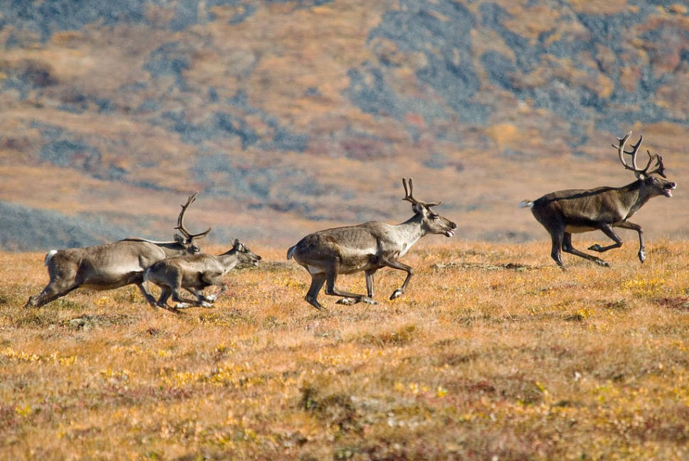 Start of the Porcupine caribou migration, near the Dempster Highway, just south of the NWT border