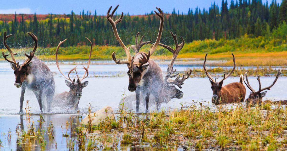Caribou Autumn Migration in Alaska - Best Time