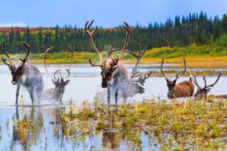 Caribou Autumn Migration