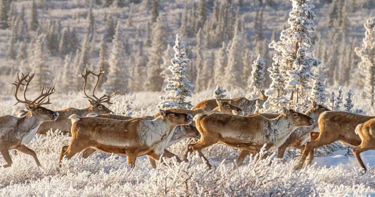 Caribou Spring Migration in Alaska - Best Time