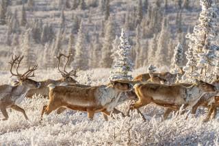 Caribou Spring Migration