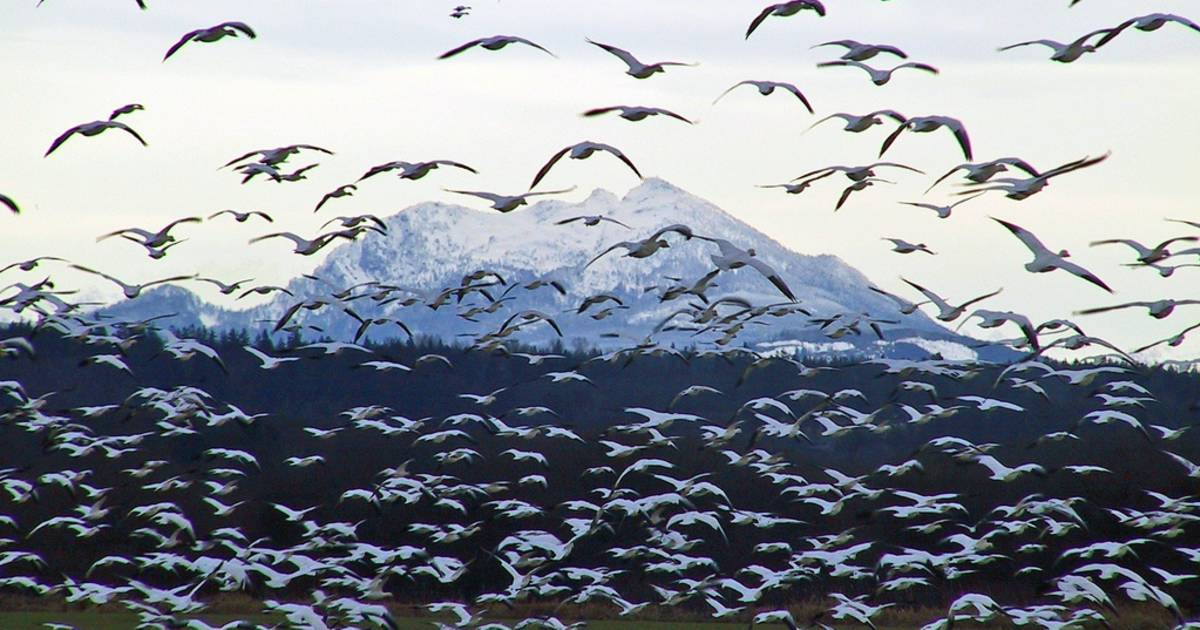 Snow Geese Spring Migration in Alaska - Best Time
