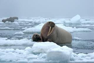 Walrus Watching