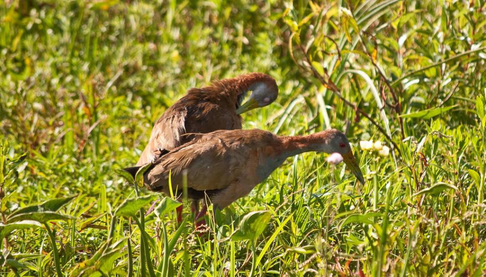 Birds of Esteros del Ibera area