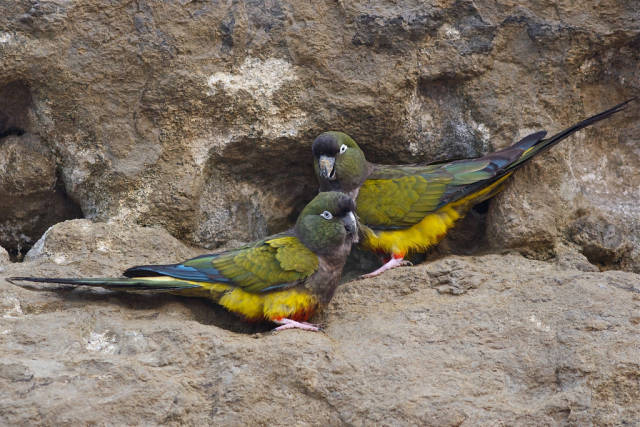 Best time for Burrowing Parrot Watching in Argentina