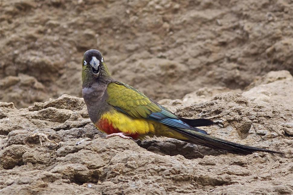 Burrowing Parrot Watching in Argentina - Best Season