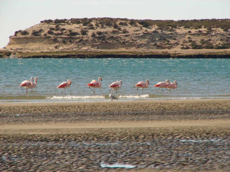 Flamingos in San José Gulf, Península de Valdés, Chubut