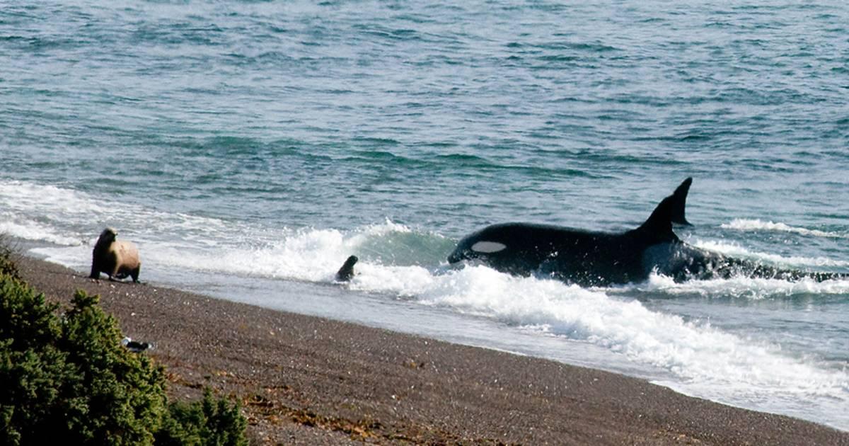 Orcas around Valdes Peninsula in Argentina - Best Time