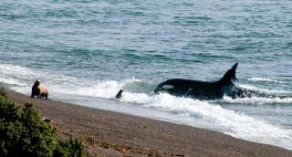 Orcas around Valdes Peninsula