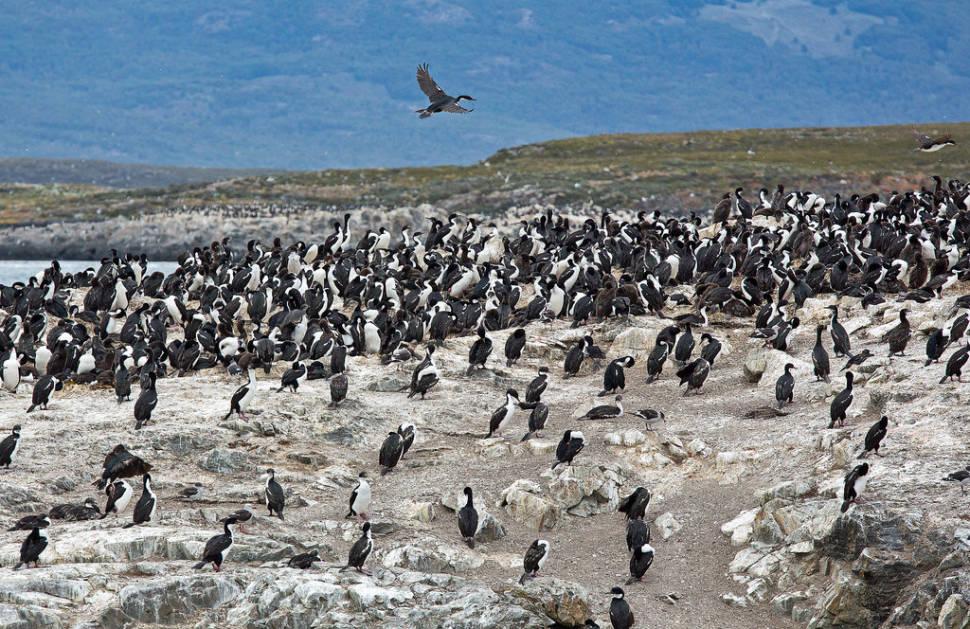 Patagonian Cormorants in Argentina - Best Season