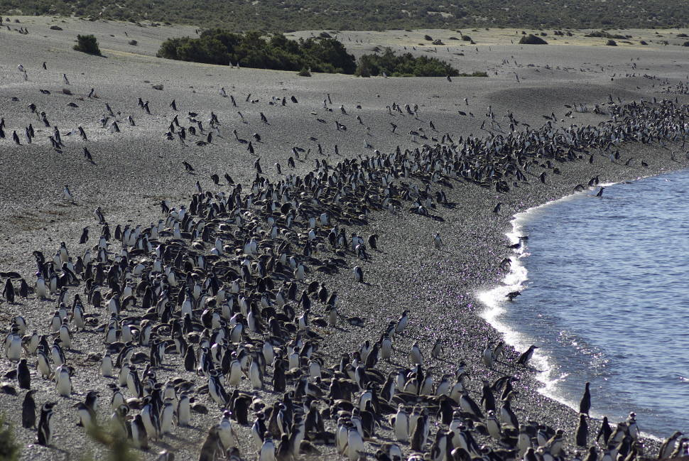 Penguins in Argentina - Best Season