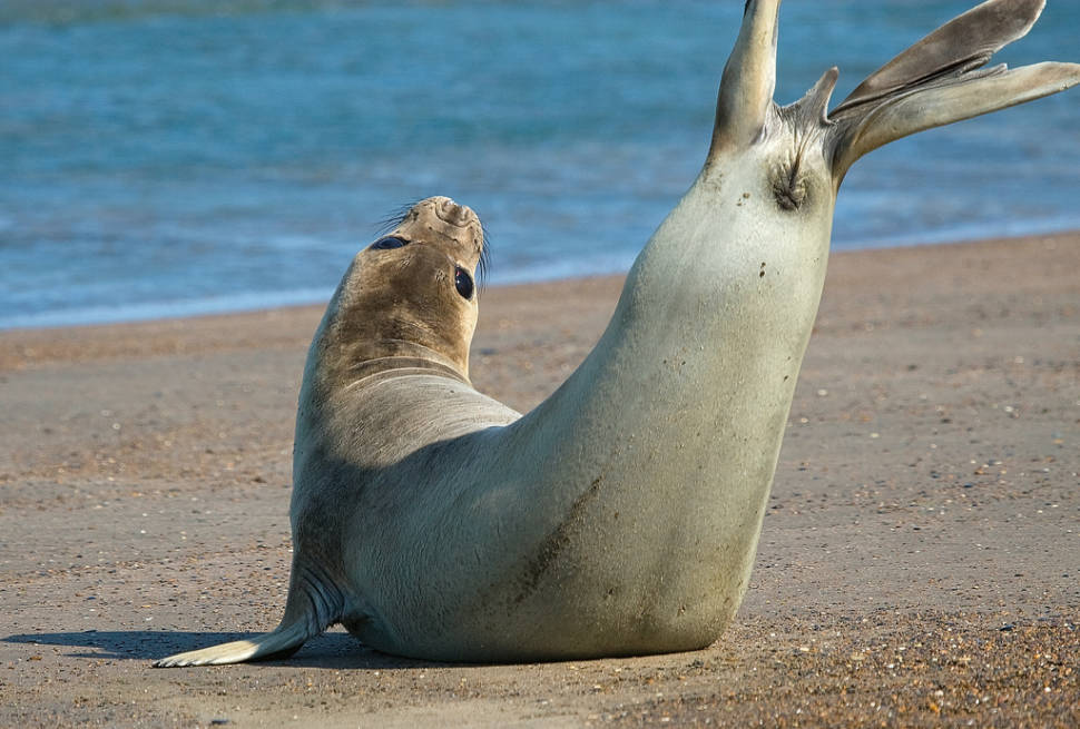 Southern Elephant Seals in Argentina - Best Time