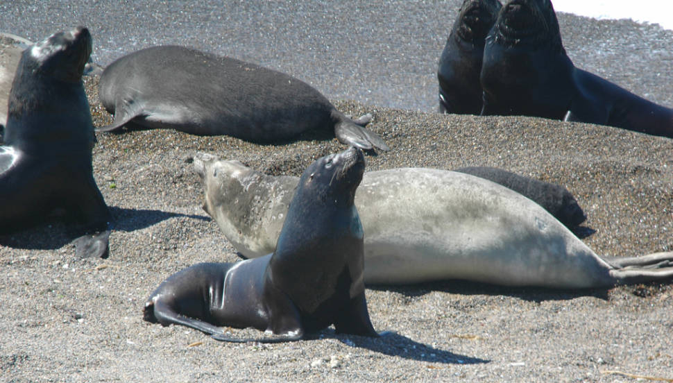 Southern Sea Lions (Otaria byronia) in the foreground and bacgrounds with Southern Elephant Seals and pups (Mirounga leonina) in the middle.