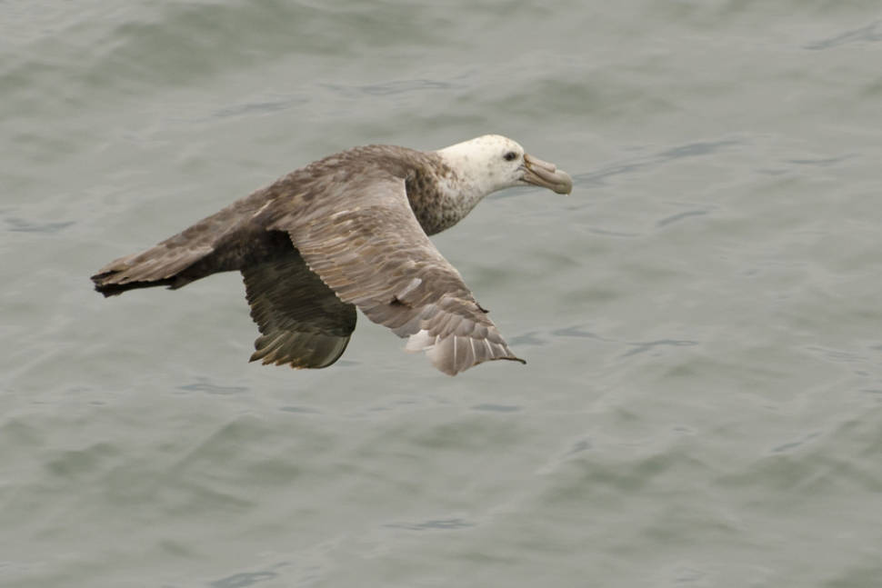 Southern Giant Petrel in Argentina - Best Season