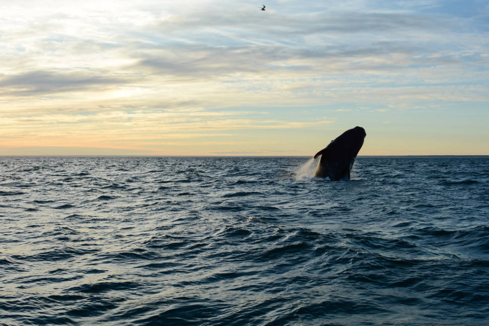 Best time for Southern Right Whale Watching in Argentina