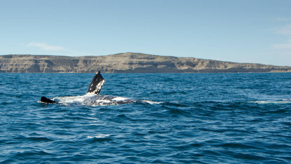 Southern Right Whale Watching in Argentina - Best Season