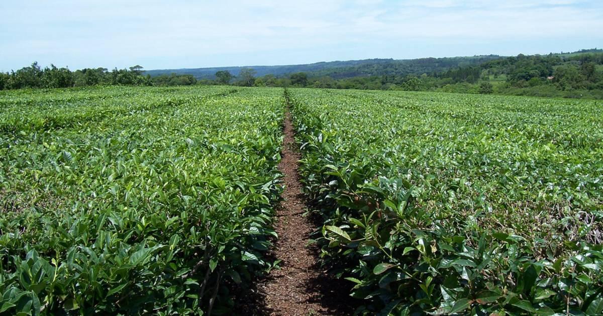 Tea Harvest in Argentina - Best Time