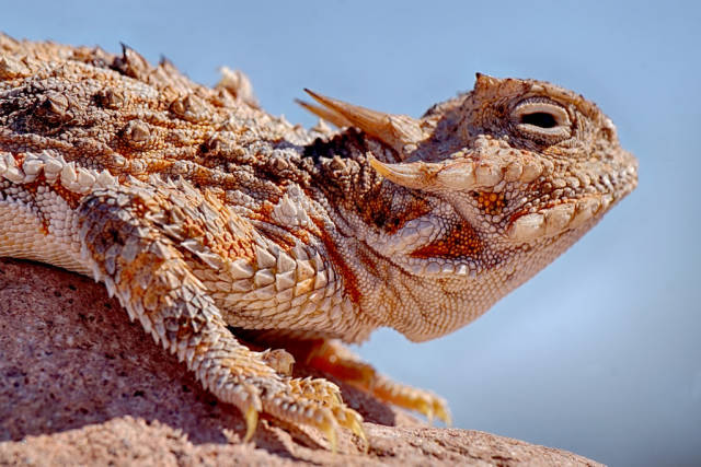 Blood-Shooting Lizards in Arizona - Best Time