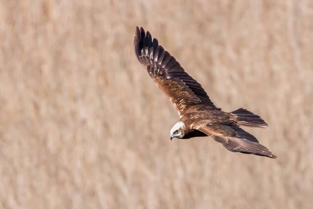 Eagle, Schinias National Park