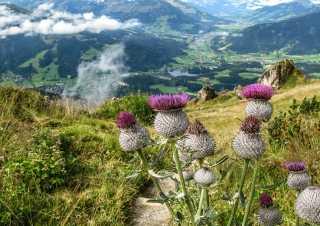 Alpine Flower Garden Kitzbüheler Horn
