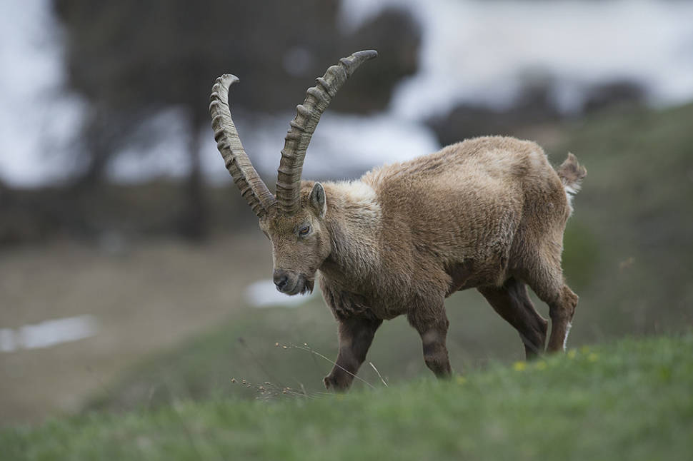 Best time to see Alpine Ibex in Austria