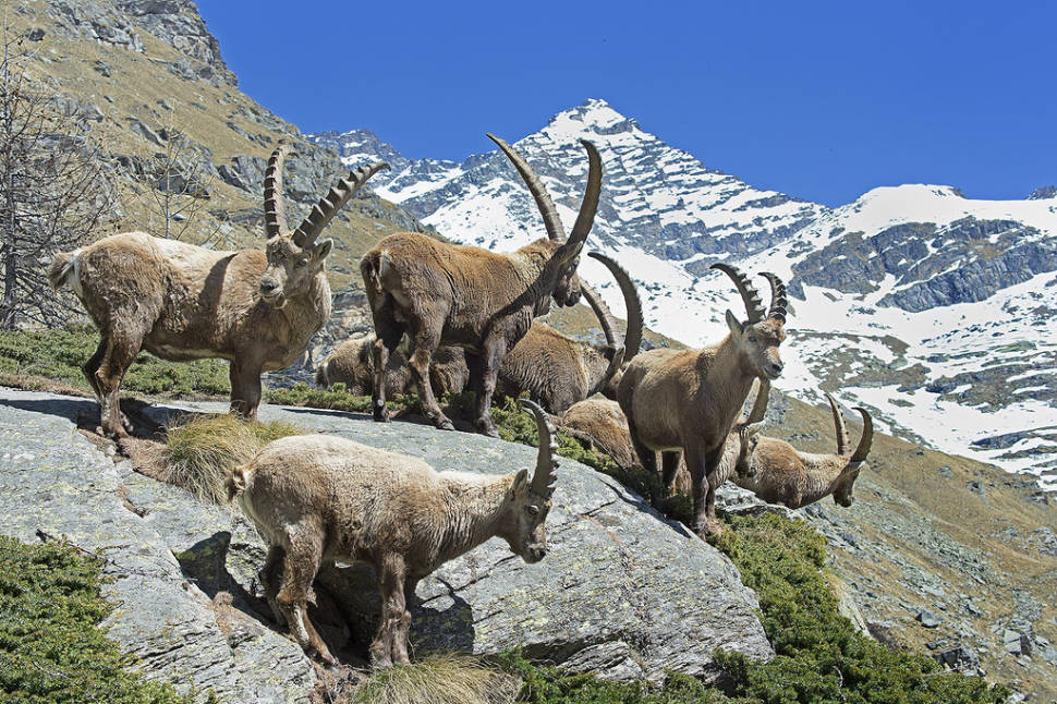 Best time for Alpine Ibex in Austria