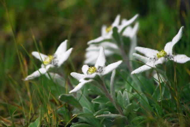 Edelweiss in Austria - Best Time