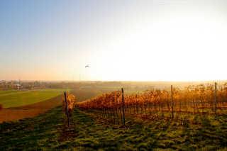 Lower Austria Grape Harvest