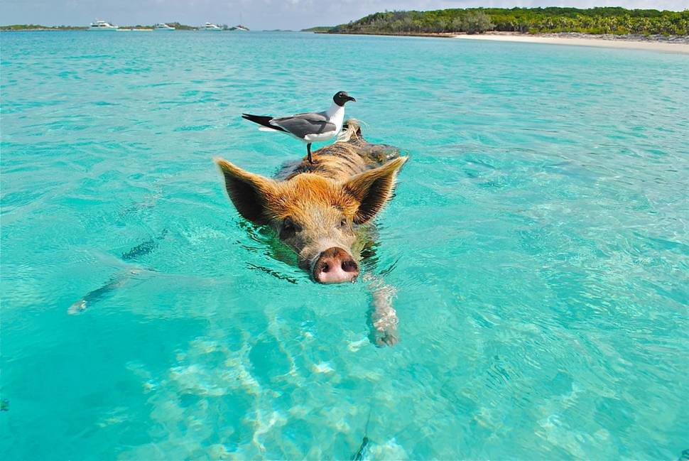 Swimming Pigs in Bahamas - Best Season