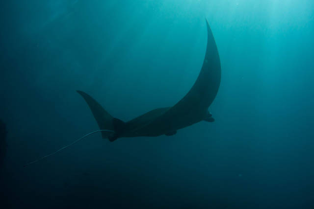 Manta Rays in Bali - Best Time