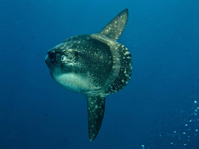 Mola Mola in Bali - Best Time