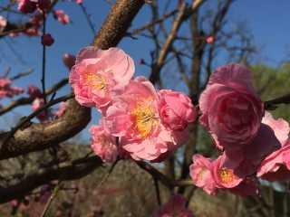Plum Blossom Festival