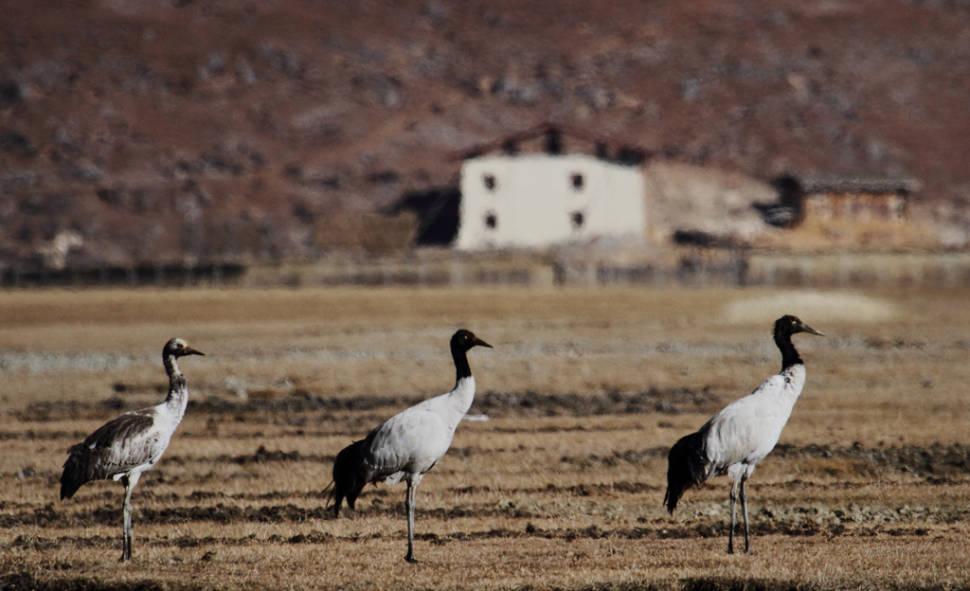 Black-Necked Cranes in Bhutan - Best Season
