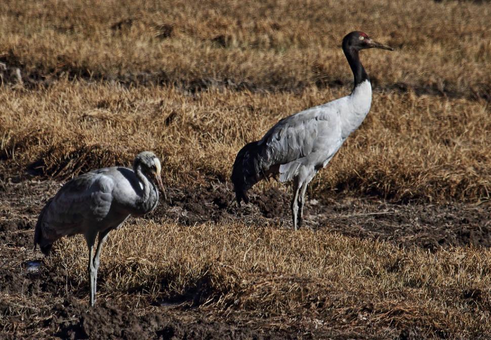 Black-Necked Cranes in Bhutan - Best Time