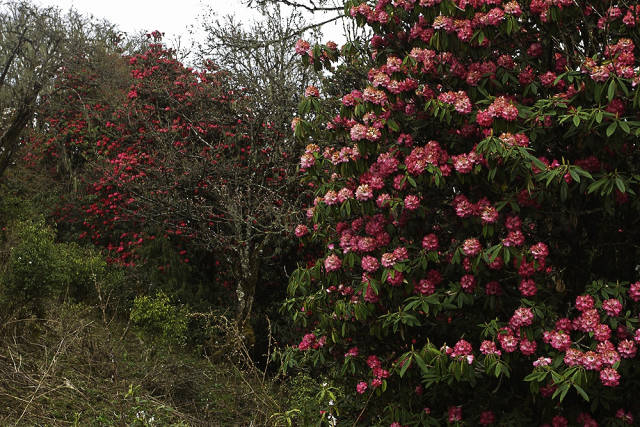 Blooming Rhododendrons in Bhutan - Best Season