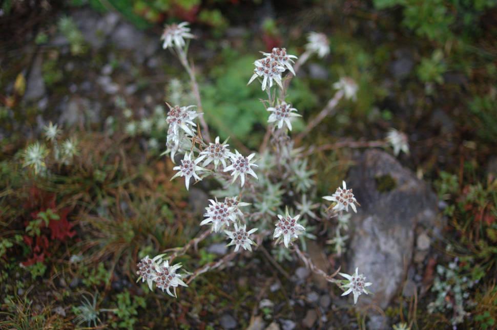 Edelweiss in Bhutan