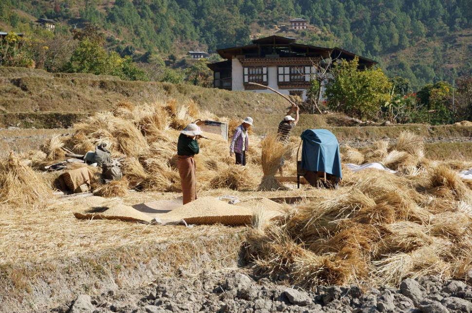 Rice Harvest in Bhutan - Best Season