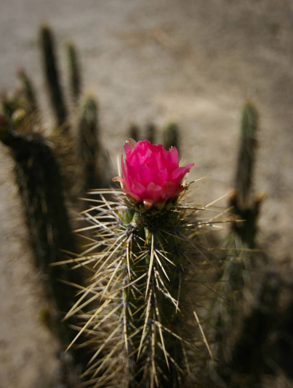 Blooming Cacti in Bolivia - Best Season