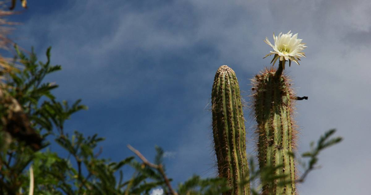 Blooming Cacti in Bolivia - Best Time