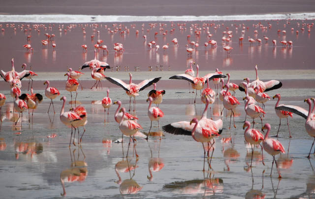Flamingos in Bolivia - Best Season