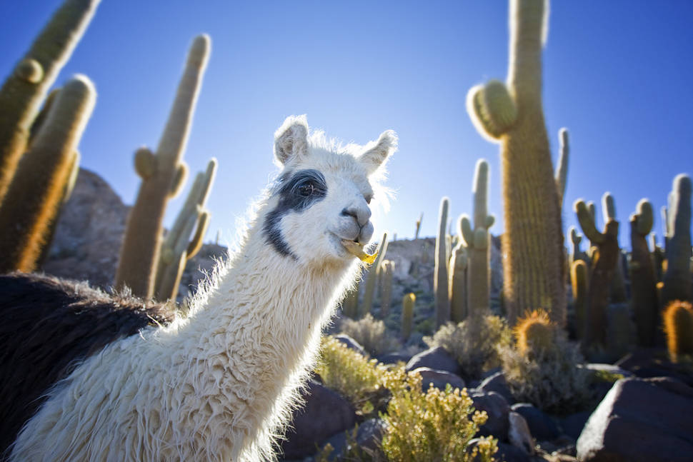 Best time for Llamas in Bolivia