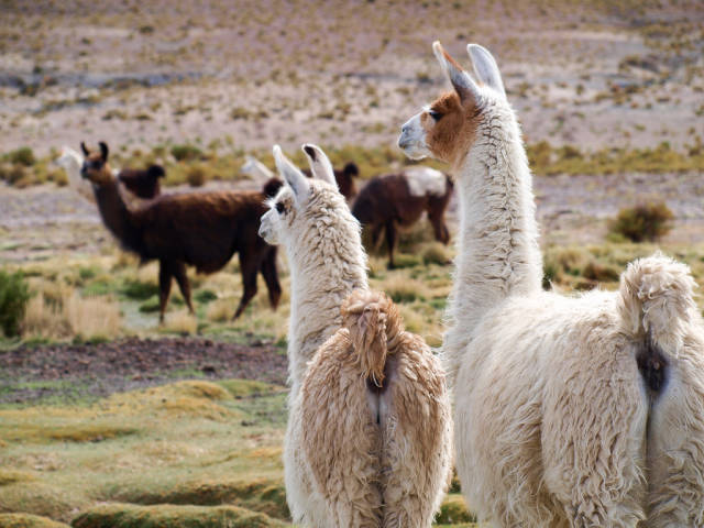Llamas in Bolivia - Best Season