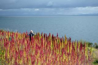 Quinoa Bloom