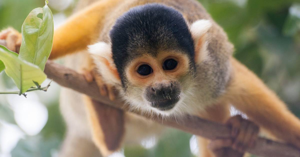 Squirrel Monkeys in Bolivia - Best Time