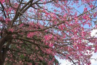 Toborochi Tree in Bloom